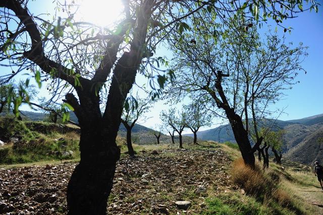 Olivenbäume im Tal von Barraces Von Bacares ins Tal des Barrancon