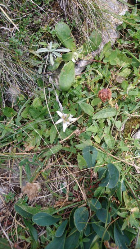 Höfats Edelweiss Blüte am Süd West Grat